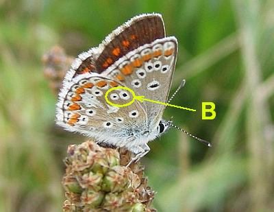 Brown Argus butterly-wing pattern