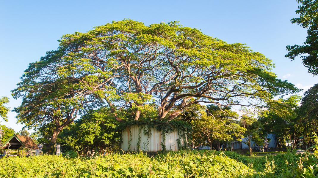 Trees Carabao Musings