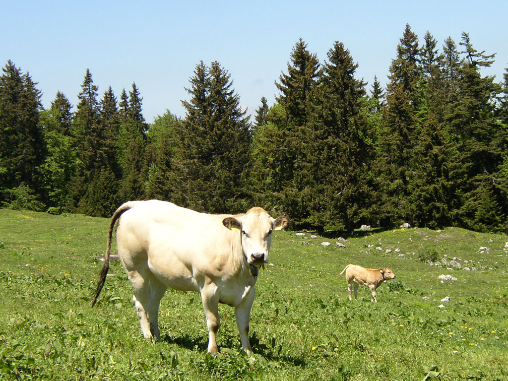 http://3.bp.blogspot.com/-c7Gg0SOox10/UAKe6yl_SGI/AAAAAAAAEAk/B72lO_3dbS8/s1600/1288842134_1024x768_white-cow-in-green-field.jpg