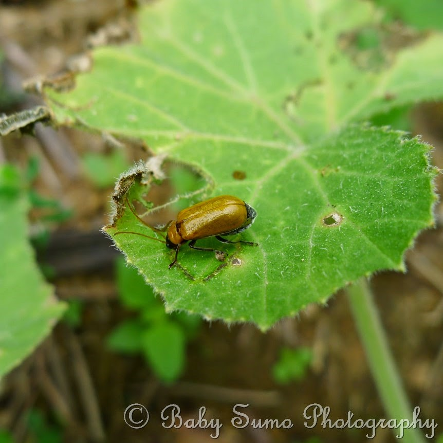 Gray Bugs On My Pumpkins : Baby sumo photography june