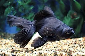 Il giardino delle naiadi carassius auratus pesce rosso for Pesce oranda