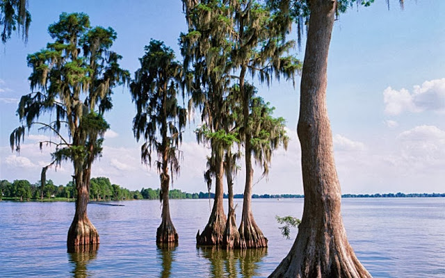 Bald Cypress in Florida