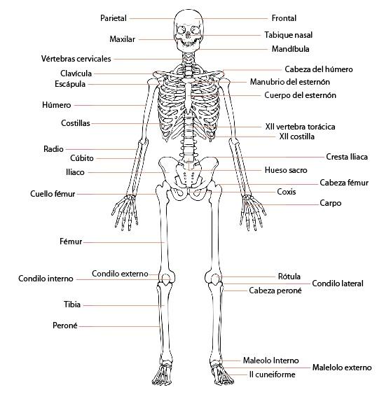 Partes del cuerpo humano car interior design for Cuerpo humano interior