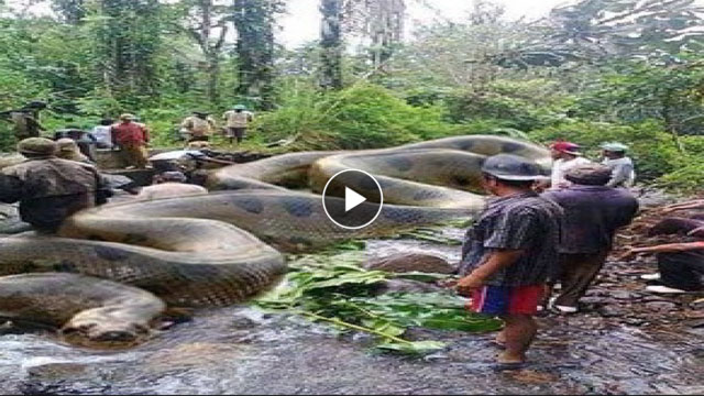 Longest Python Ever Found | www.pixshark.com - Images ...