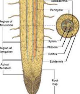 Pertumbuhan pada ujung akar