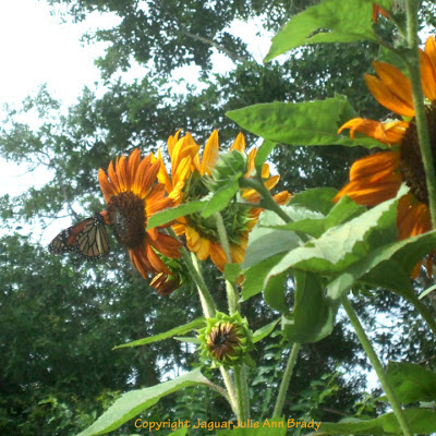 Monarch butterfly on Autumn Beauty Sunflower blossom