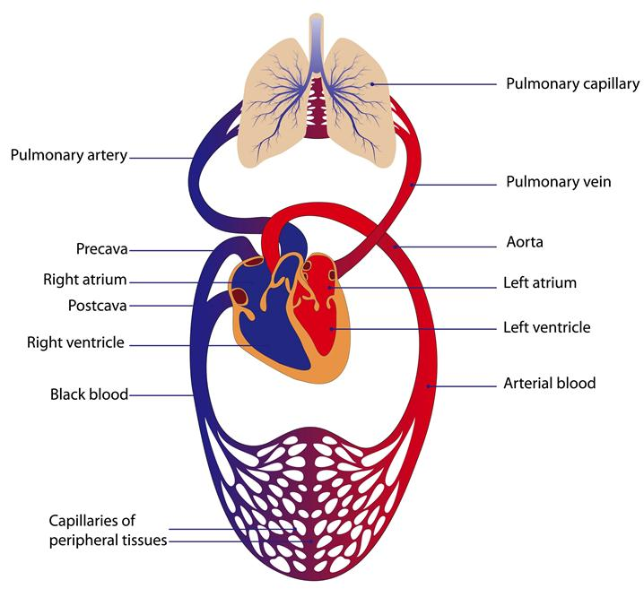 Sistem Sirkulasi
