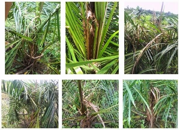 Dampak serangan Kumbang ( Oryctes Rhynoceros Pada Kelapa Sawit di Desa Saing Prupuk Kec. Batu Engau