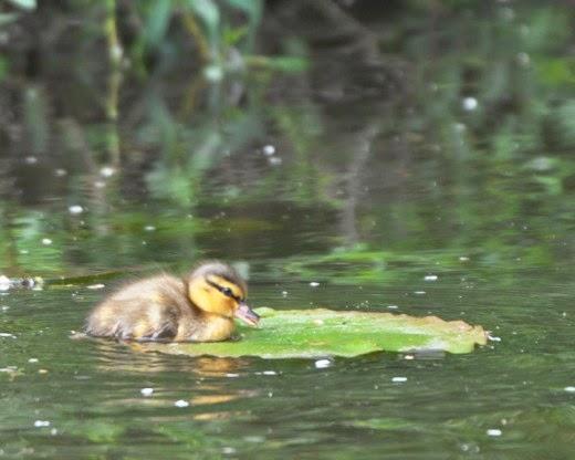 mallard duck chick