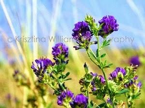 http://www.krisztinawilliams.com/2014/02/pic-of-week-purple-clover-flower-fine.html