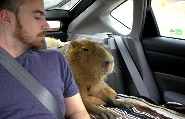 This An Unusual Pet of an Unusual Size | Pet Capybara