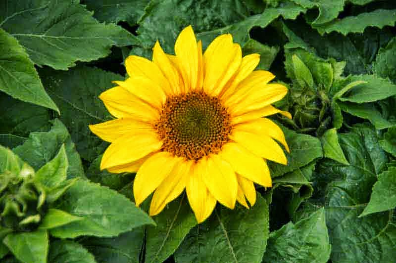 flower, plant, sunflower