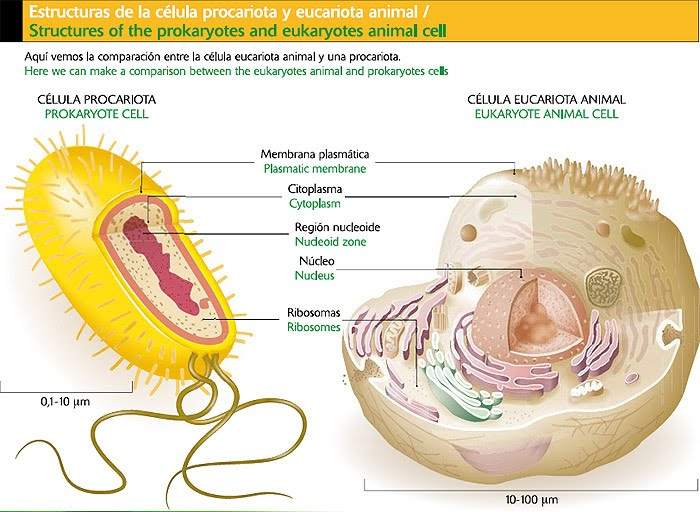 celula procariota. de célula: Procariota (sin