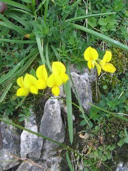 Lotus cornicolatus (Ginestrino, Mullaghera)