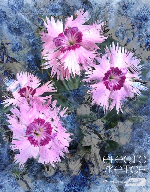 dianthus-flor-silvestre-composición-digital
