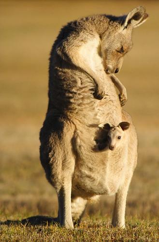 mama and baby kangaroo - photo #8