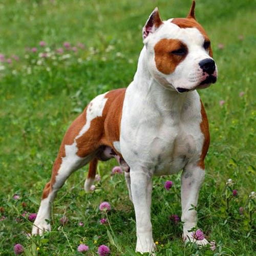 american staffordshire terrier vs - photo #14