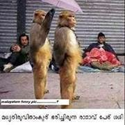 Monkey couple - funny photo - umbrella