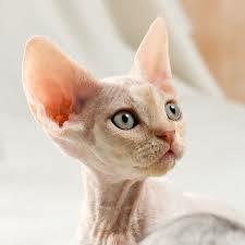 Razze Feline: una più bella dell'altra GATOS+-+DEVON+REX4