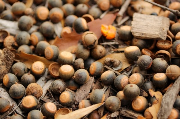 Fallen Acorns ~ Photo by ChatterBlossom #oak #tree #acorn #autumn