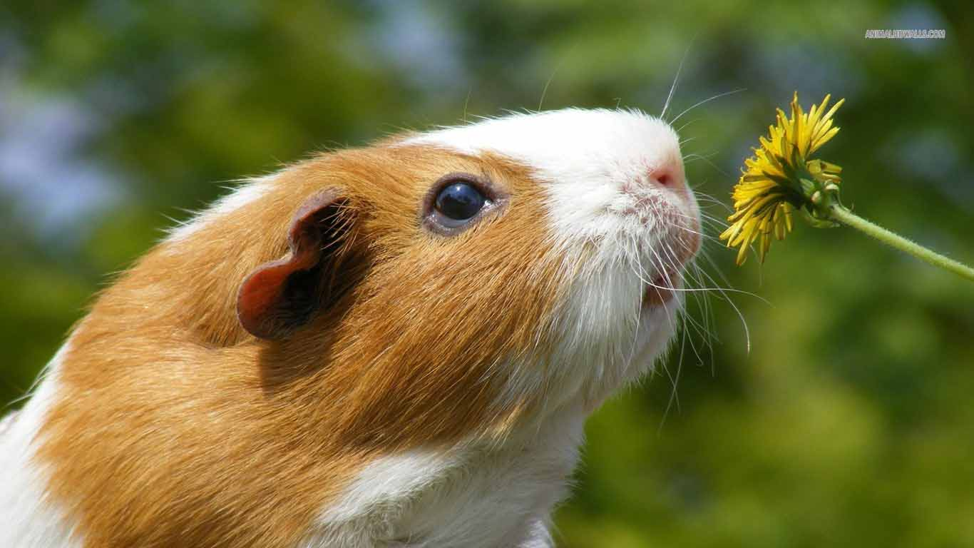 hd wallpapers guinea pig wallpapers