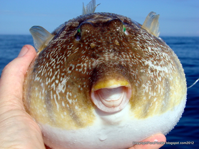 Giant puffer fish puffed up for Puffer fish florida