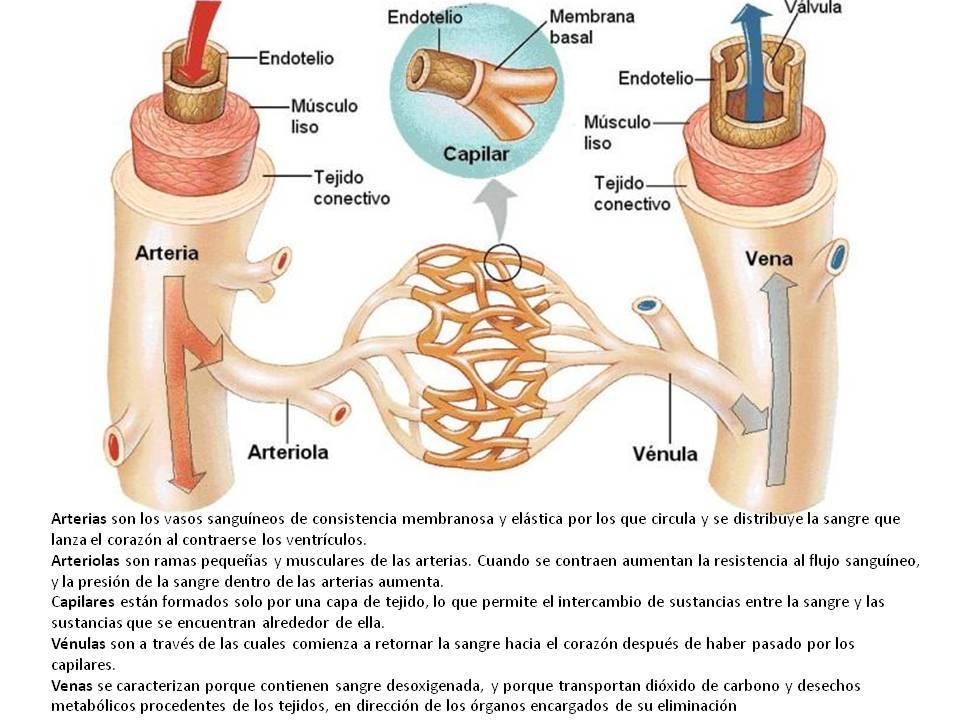 Fisiología de Omar Báez: Características de los vasos sanguineos