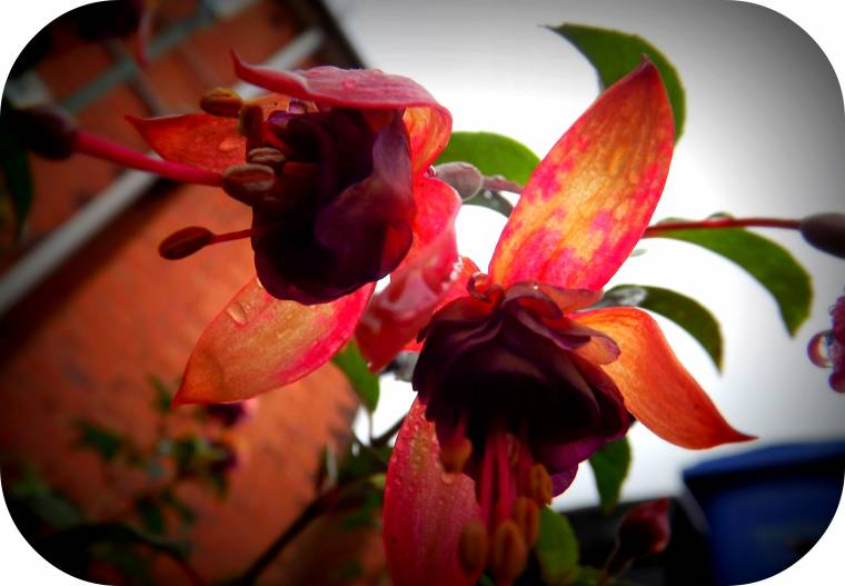 Fuchsias: Weekend Flowers And A Pop Of Colour