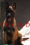PASTOR BELGA MALINOIS MACHO
