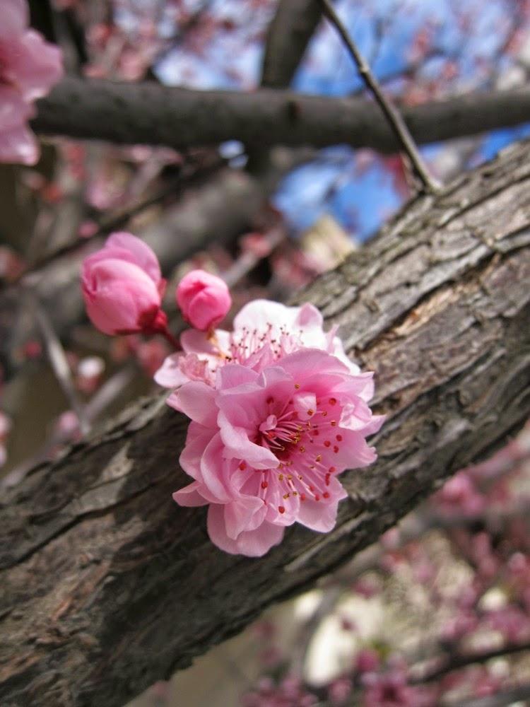 cherry blossom australia spring melbourne
