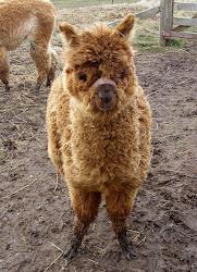 Shetland Alpacas