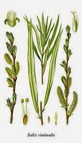 WIERZBA WICIOWA (Witwa) Salix viminalis