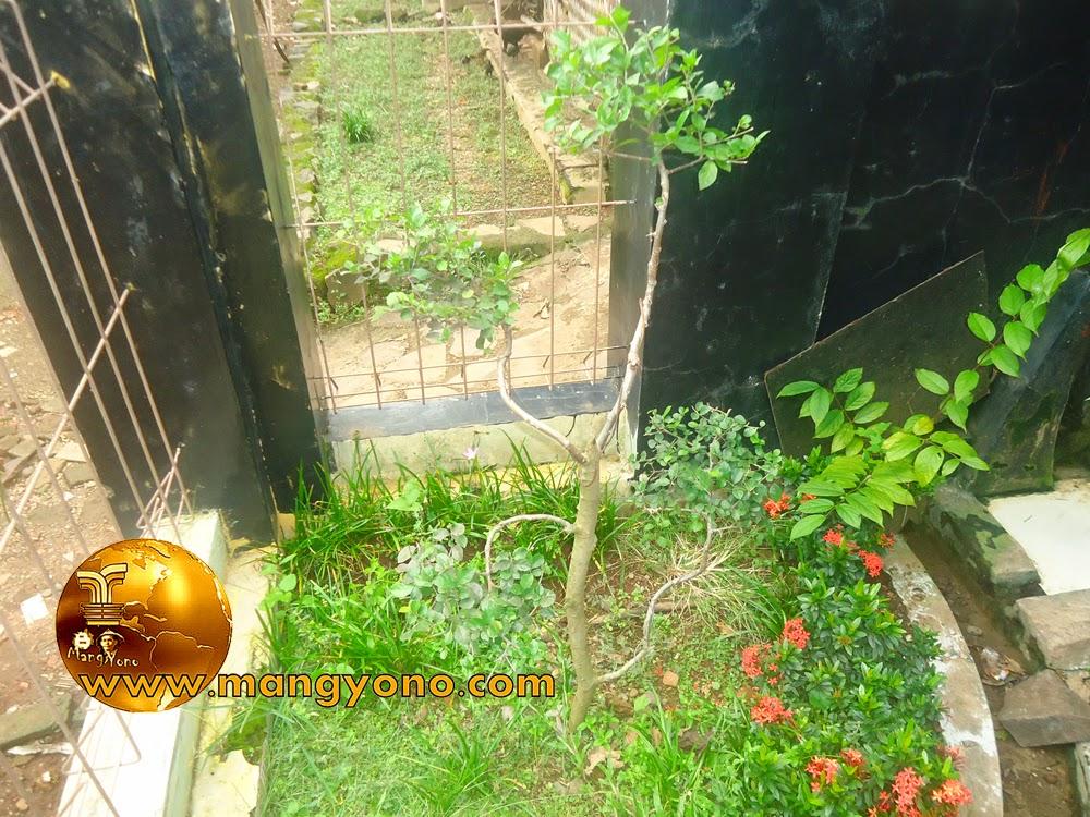 FOTO : Pohon serut di taman mungil saya