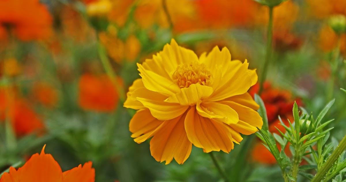 Cosmos sulphureus flore de l le de la r union for Entretien jardin reunion