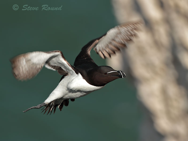 razorbill, seabird, bird, auk, nature, wildlife
