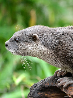 eager otter