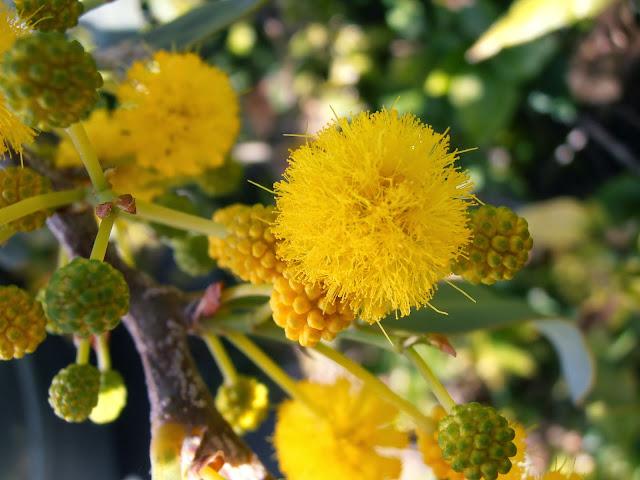 Flores de ACACIA AZUL: Acacia saligna