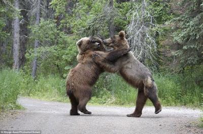 haiwan beruang