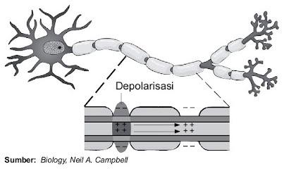 Penghantaran impuls dalam sel saraf