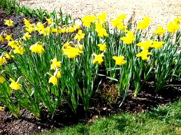 yellow daffodils in a flower bed