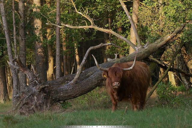 Schotse Hooglanders - Scottish Highlander - Bos Taurus ss