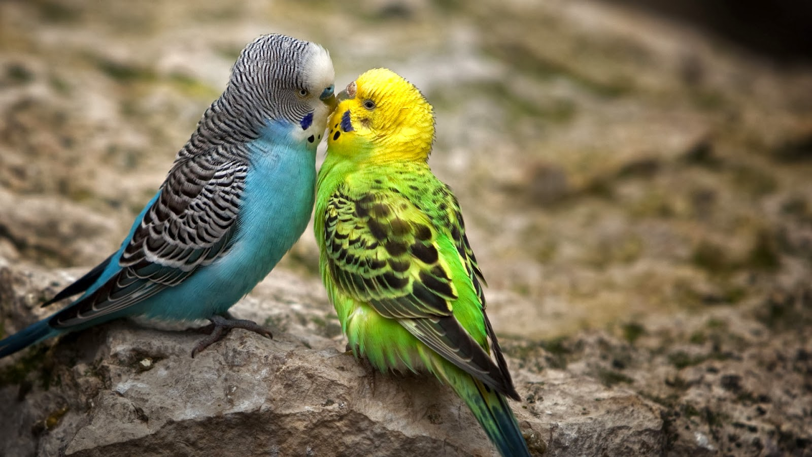 Love Birds Wallpaper In Hd : cute Little Love couple Pictures HD Free Download PIXHOME