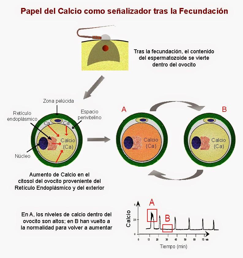 Tras la fusión de las membranas, el contenido del espermatozoide se introduce en el ovocito y provoca la entrada de calcio procedente del exterior y del retículo endoplásmico.