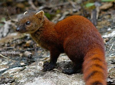 Ringtail Mongoose Ubuntu 13.04