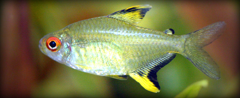 Avenger blog freshwater fish pictures for Butterfly fish freshwater