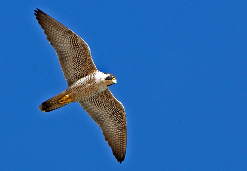 A Peregrine Falcon against a clear blue sky