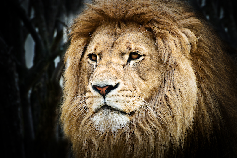 Animals: Lion