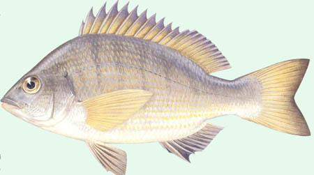 Cá tráp