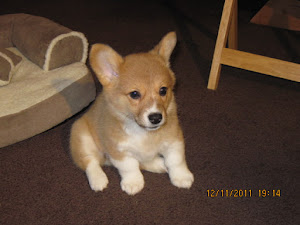 Blog about my Corgi, Ginger!