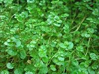 Soleirolia soleirolii leaf